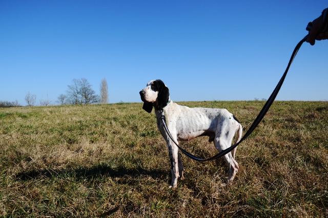 PANGO - courant ( x gascon ?)4 ans - Refuge Fourrière de Bayonne (64) 1416-2-adopter-un-chien-pango