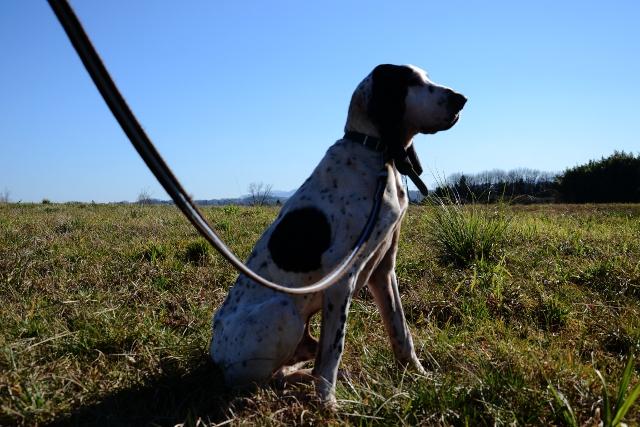 PANGO - courant ( x gascon ?)4 ans - Refuge Fourrière de Bayonne (64) 1416-4-adopter-un-chien-pango