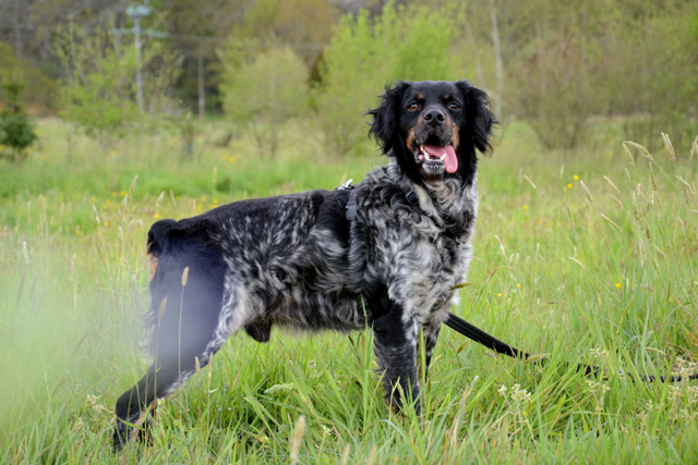 OMEO - x epagneul breton 4  ans - Refuge de Bayonne (64) 1679-2-adopter-un-chien-omeo