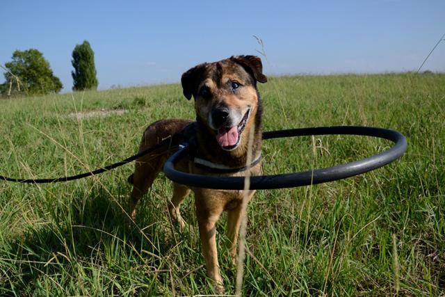 OJOo - x boxer 6 ans (Aveugle)  Refuge de Bayonne (64) 1823-1-adopter-un-chien-ojo