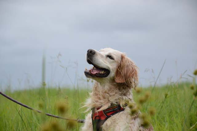 YOYO - epagneul breton 7 ans - Refuge de Bayonne (64) 1844-4-adopter-un-chien-yoyo