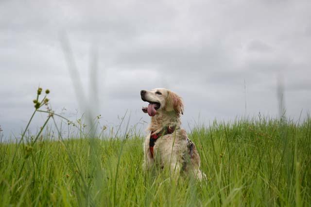 YOYO - epagneul breton 7 ans - Refuge de Bayonne (64) 1844-5-adopter-un-chien-yoyo